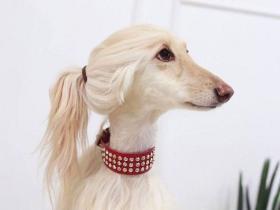 发型精致的狗狗